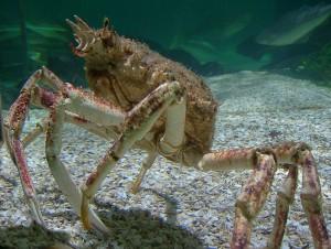 Poissons de Méditerranée, L'araignée de mer