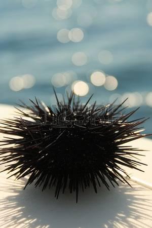 Pêche aux oursins en Méditerranée - Réglementation